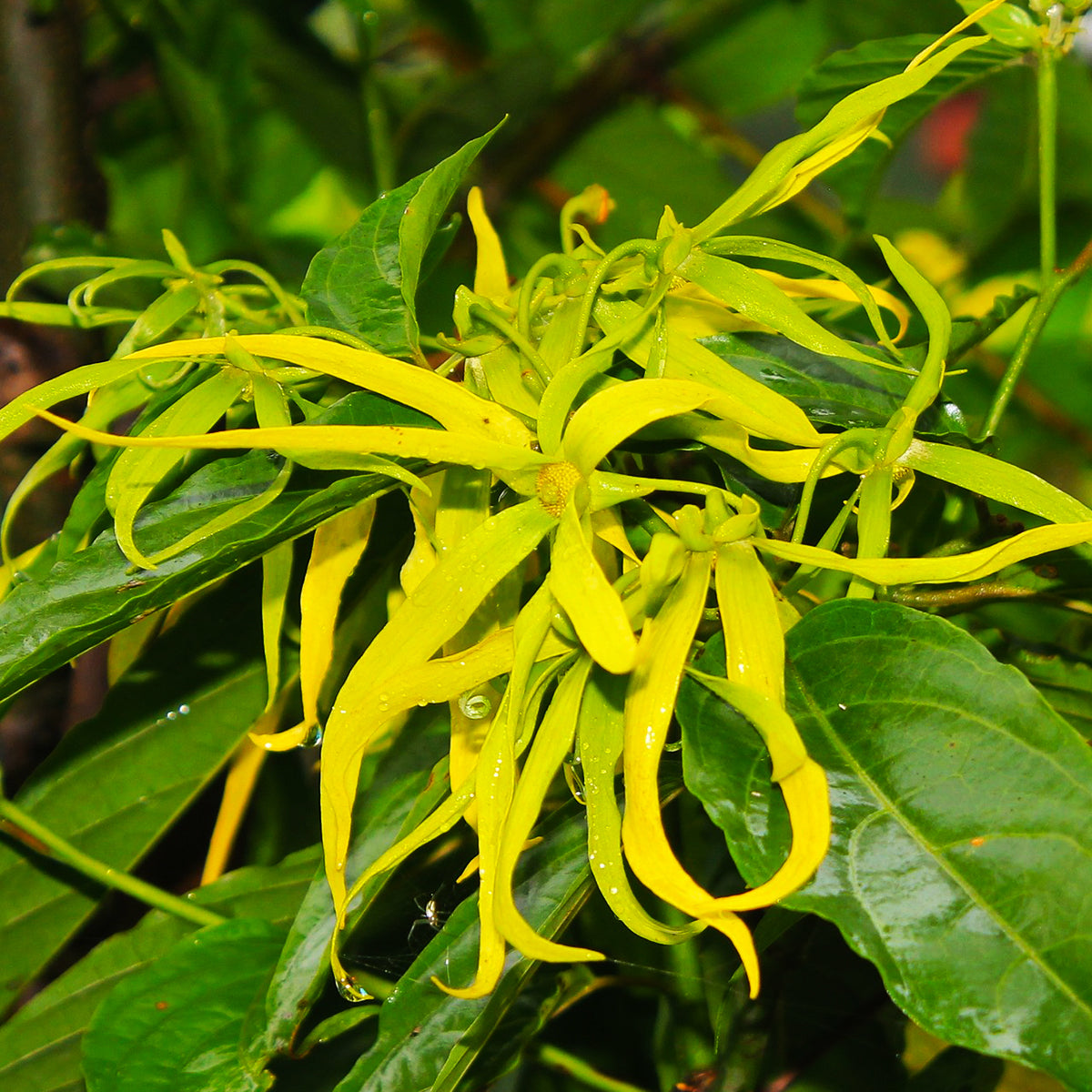 Ylang-Ylang Essential Oil for Soothing your Mind and Body