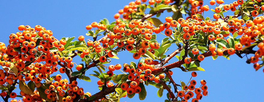 Sea Buckthorn Carrier Oil for Liver Protection and Youthful Skin