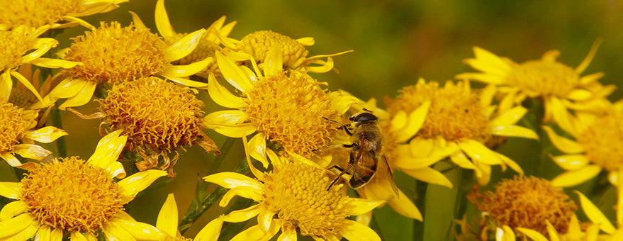 Arnica Essential Oil for Inflammation, Wound Healing and Pain Management