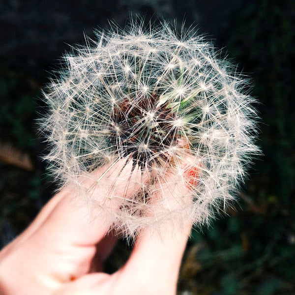 Dandelion, the weed that grants more than wishes