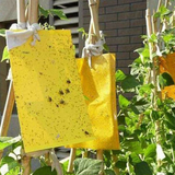 Two-Sided Insect Sticky Traps Ideal for protecting plants against multiple kinds of insects, these non-toxic two Trapping trap's trap strap Sticks stickers sticker Stick-On stick sides Sided Side packs pack of mosquitos mosquitoes Mosquito insect gnats gnat flys flying fly trap flies bugs bug 2 10-Pack