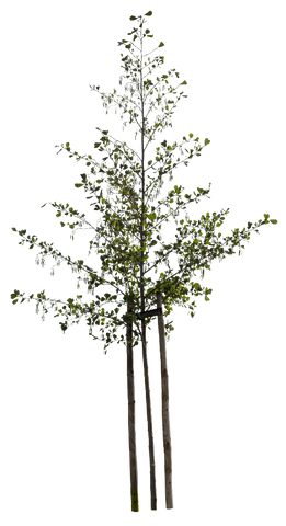 Alnus glutinosa - small - cutout trees