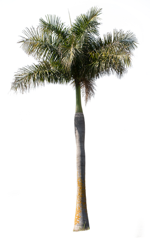 Palm tree - Archontophoenix - cutout trees