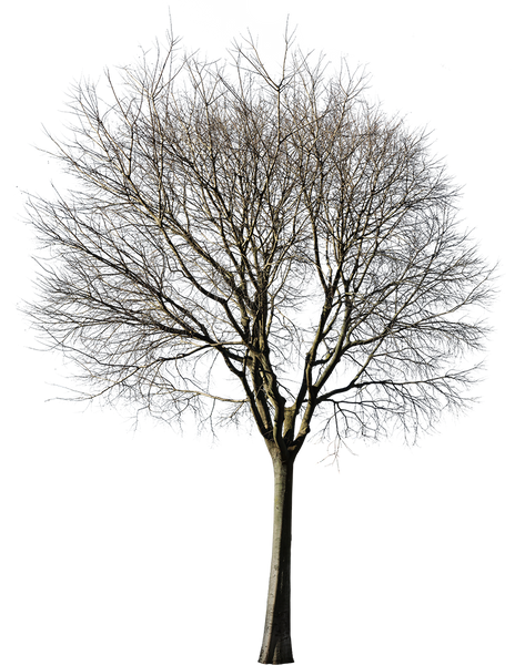 Celtis australis Winter V - cutout trees