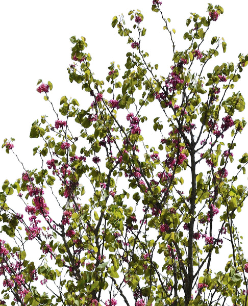 Cercis siliquastrum - cutout trees