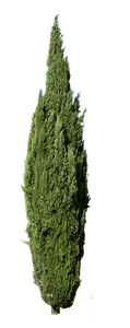 Cupressus sempervirens - cutout trees