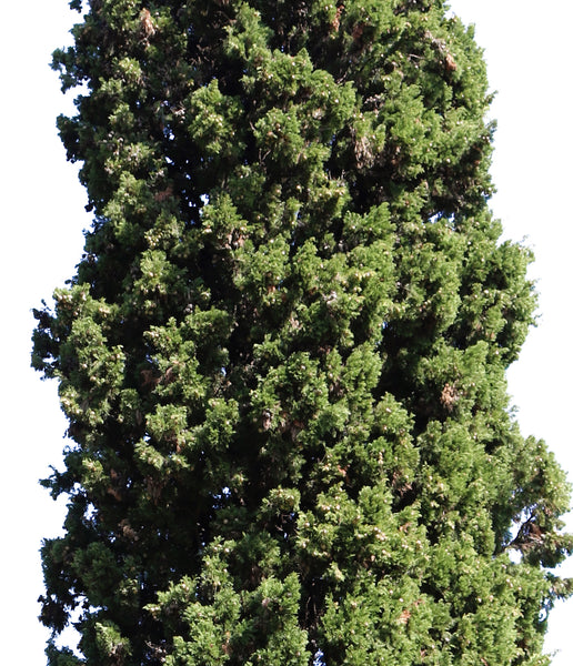 Cupressus-sempervirens-Group - cutout trees