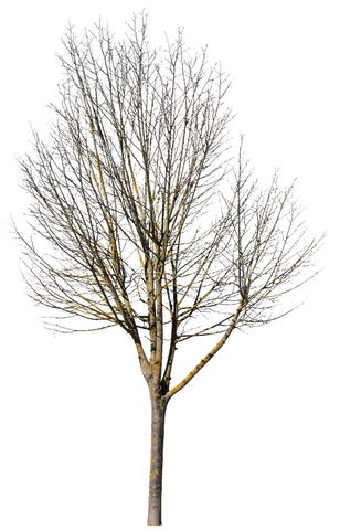 Small deciduous tree in wintertime. PNG, cutout tree.
