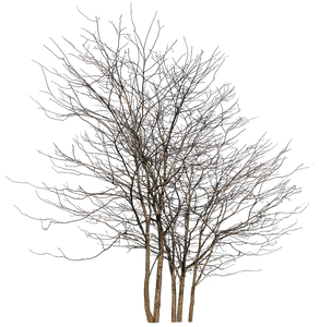 Deciduous-trees-Group-Winter-III - cutout trees