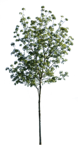 Fraxinus excelsior II - cutout trees