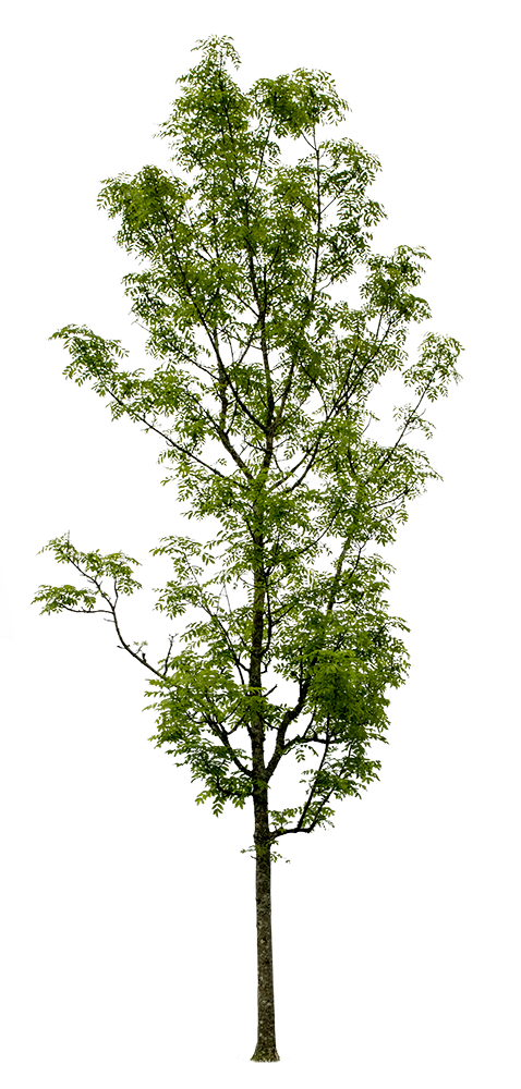 Fraxinus excelsior - cutout trees