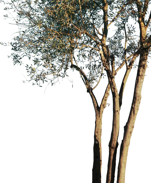 Olea europaea Small - cutout trees