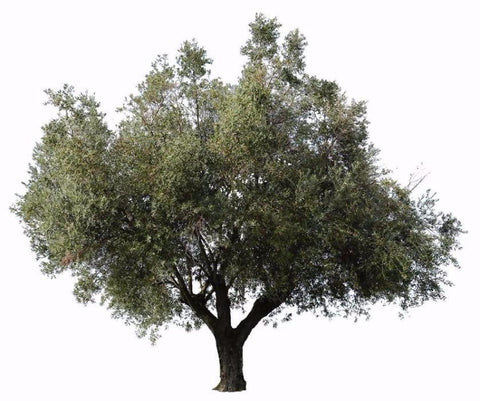 Olive tree. High resolution PNG. Transparent background - ready to use in photoshop.