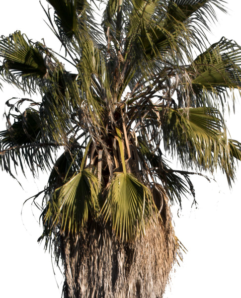 Palm tree - Washingtonia robusta III - cutout trees