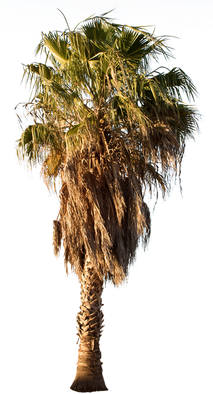 Palm tree - Washingtonia robusta II - cutout trees