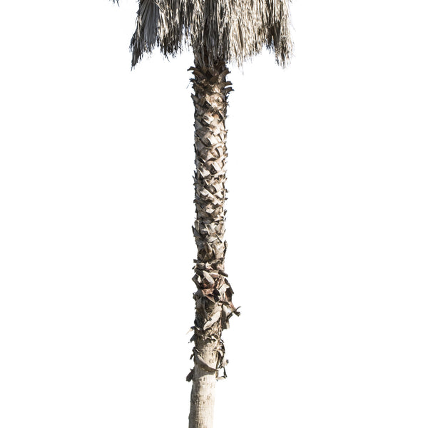 Palm tree - Washingtonia robusta - cutout trees