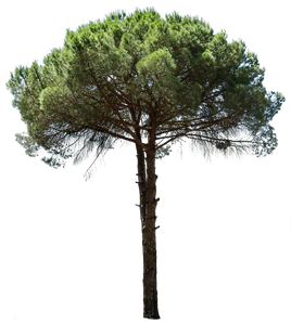 Pinus pinea III - cutout trees