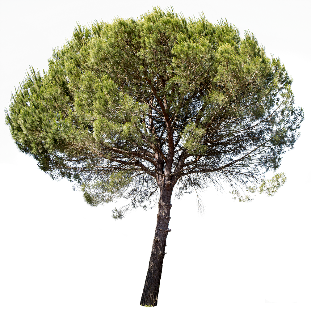 Pinus pinea - cutout trees