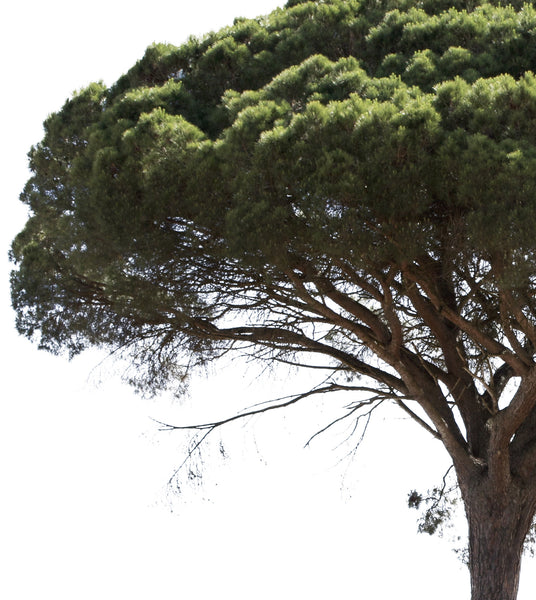 Pinus pinea II - cutout trees