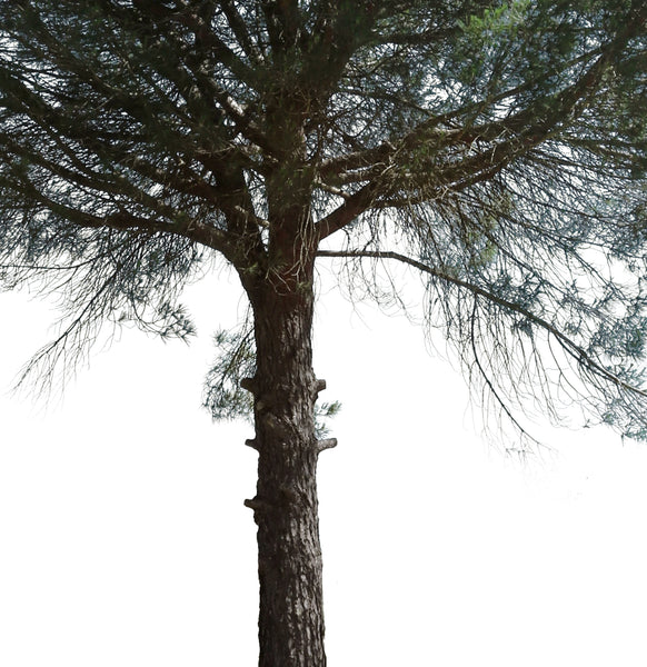 Pinus pinea IV - cutout trees
