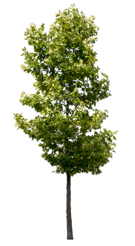 Platanus Occidentalis - Small - cutout trees