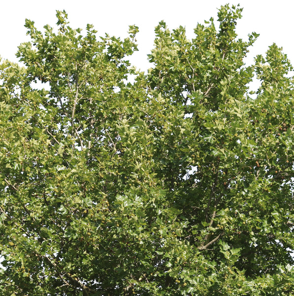 Platanus occidentalis IV - cutout trees