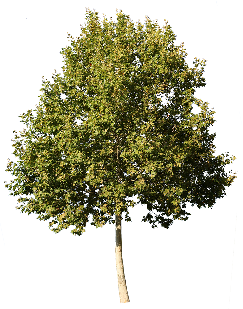 Platanus Occidentalis II - cutout trees