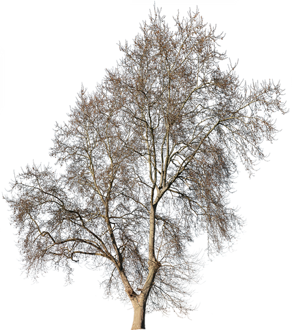 Large plane tree in wintertime. PNG with transparent background.