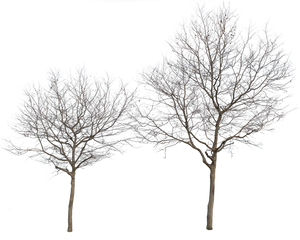 Platanus Occidentalis Group Winter - cutout trees