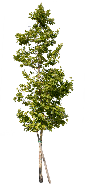 Platanus Occidentalis - Small II - cutout trees
