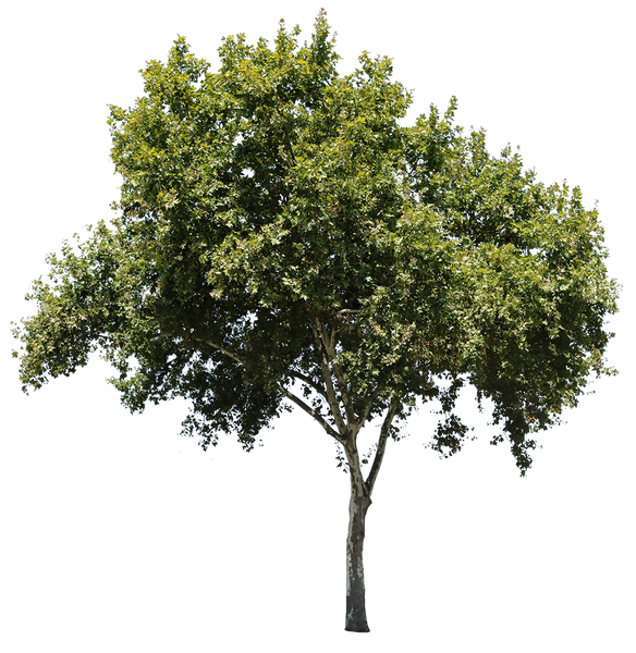 Platanus Occidentalis - cutout trees
