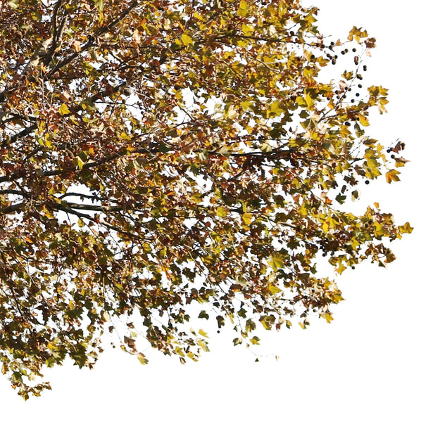 Platanus Occidentalis Autumn - cutout trees