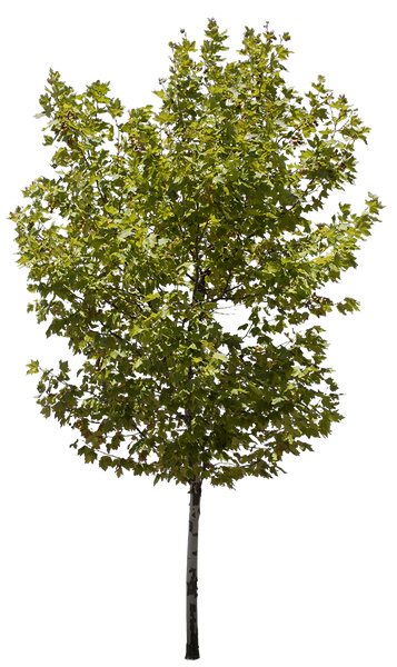 Platanus Occidentalis III - cutout trees