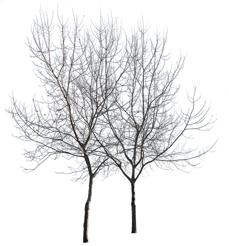 Populus alba Group Winter II - cutout trees