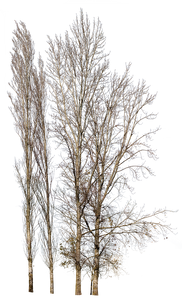 Populus-nigra-Group-Winter-II - cutout trees