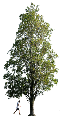 Populus nigra + People - cutout trees