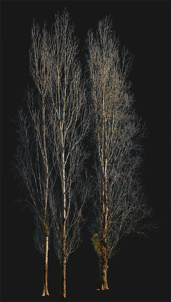 Populus-nigra-group-Winter - cutout trees