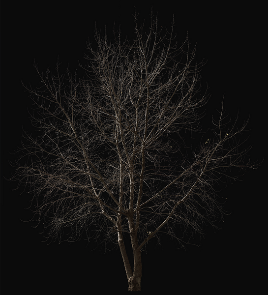 Populus-Winter - cutout trees