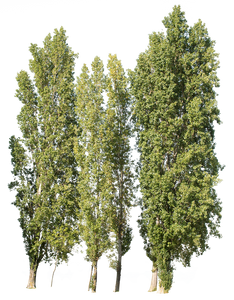 Populus nigra group - cutout trees