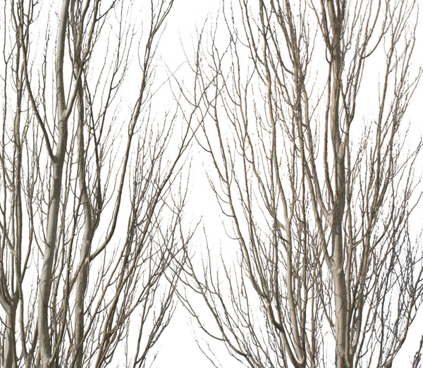 Populus alba Group Winter - cutout trees