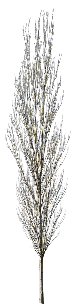 Populus alba winter III - cutout trees