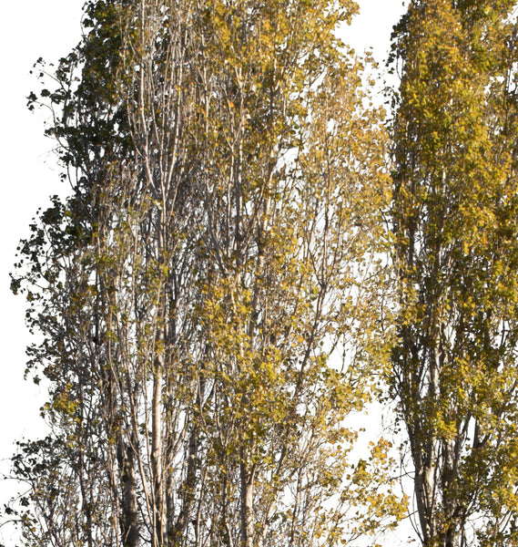 Populus nigra Group Autumn - cutout trees