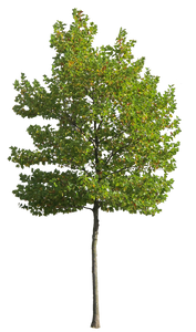Platanus Occidentalis - Small VI - cutout trees
