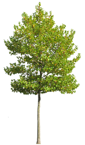 Platanus Occidentalis - Small VII - cutout trees