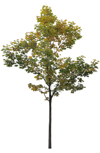 Small Maple tree 3 - cutout trees