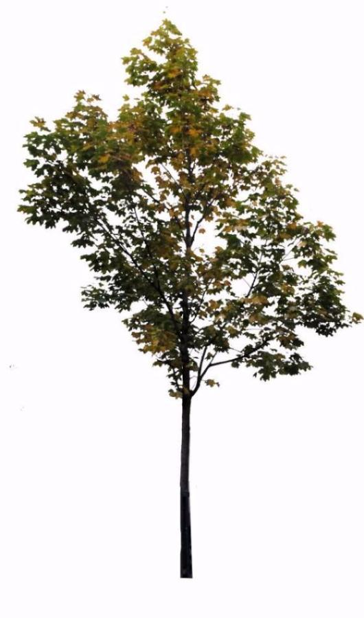 Small Maple tree 1 - cutout trees