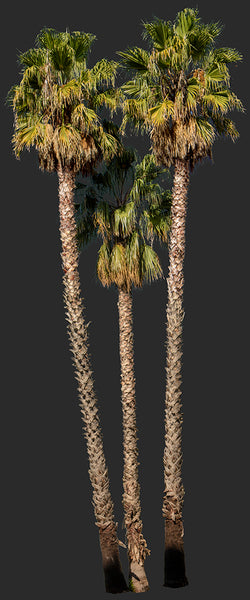 Palm tree - Washingtonia robusta Group II - cutout trees