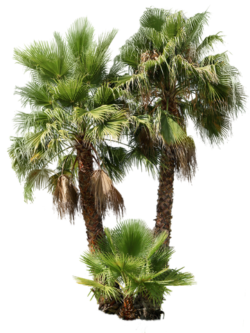 Palm tree - Washingtonia robusta Group - cutout trees