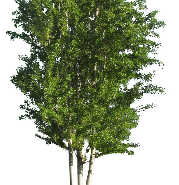 Black poplar 2 - cutout trees