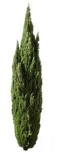 Cupressus sempervirens tree III - cutout trees